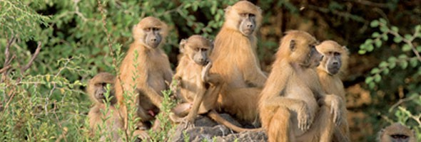 monkeys-attack-woman-in-nyeri